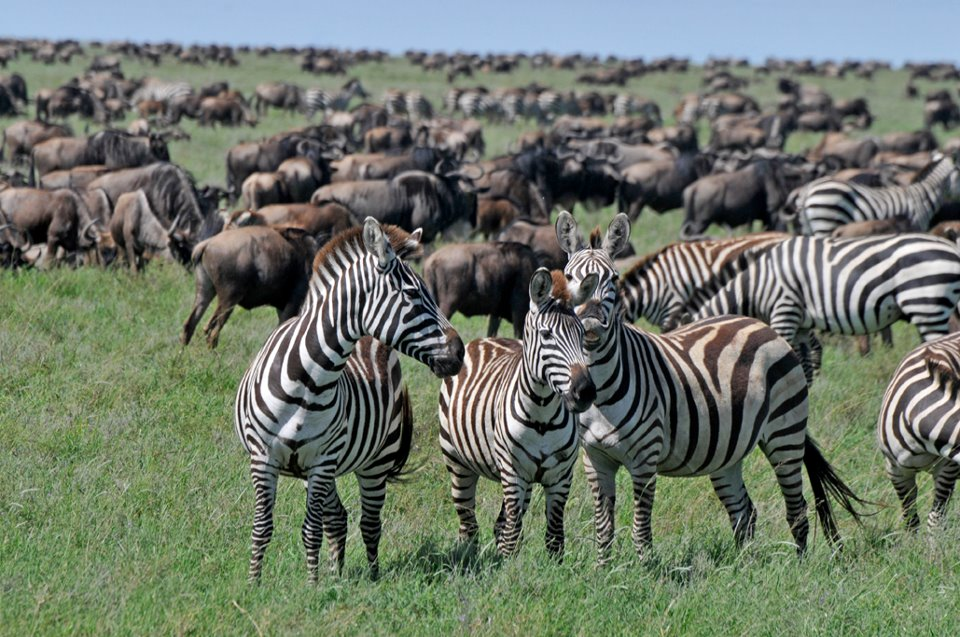 Wildebeest Serengeti Migration